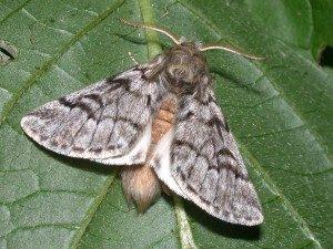 mariposa-oruga-procesionaria-300x225